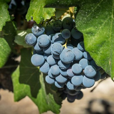 Tempranillo grape